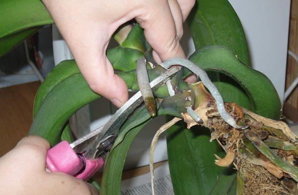 При пересадке орхидеи старайтесь не повредить корневые отростки
