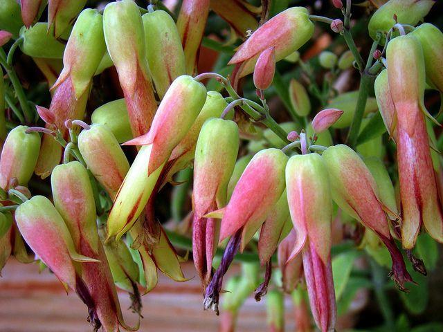 Каланхоэ Тесса – стелющийся сорт