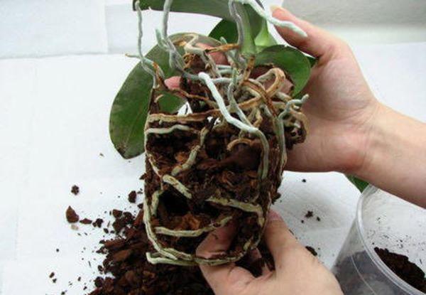 Внимательно следите за пересаженной орхидеей