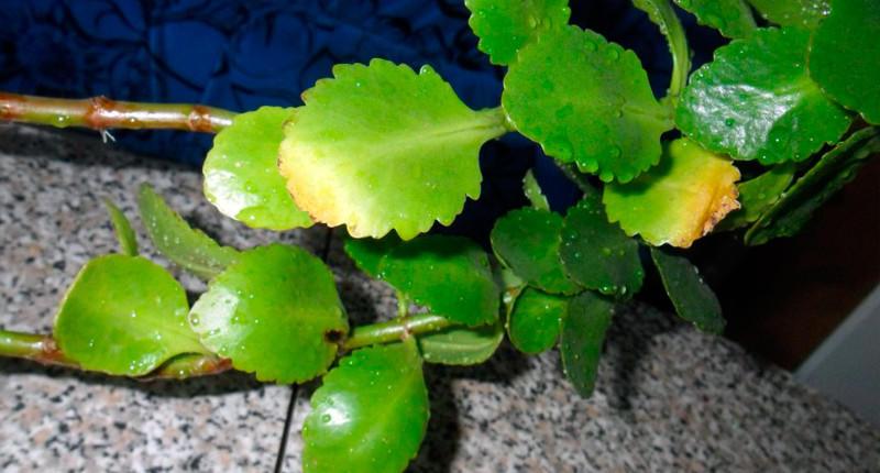 Нехватка удобрений приводит к желтым листьям