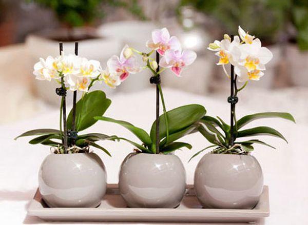 Орхидея фаленопсис очень популярна