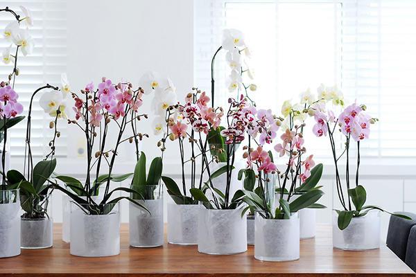 Орхидею можно размножать детками