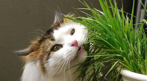 Кошкам необходимо есть траву