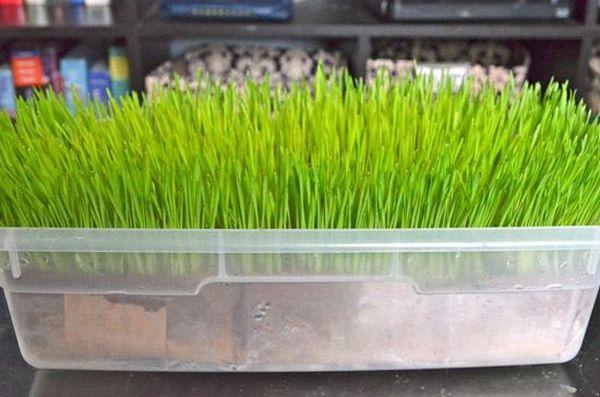 Комнатная пшеница идеальное растение для котов