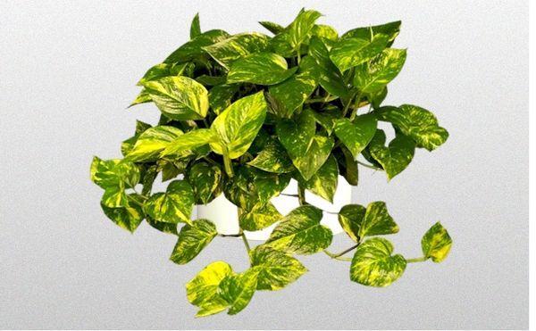 Лианоподобное растение Сциндапус золотистый