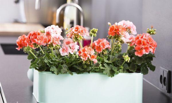 Не все комнатные растения подходят для кухни