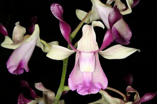 Цветок Dendrobium taurinum