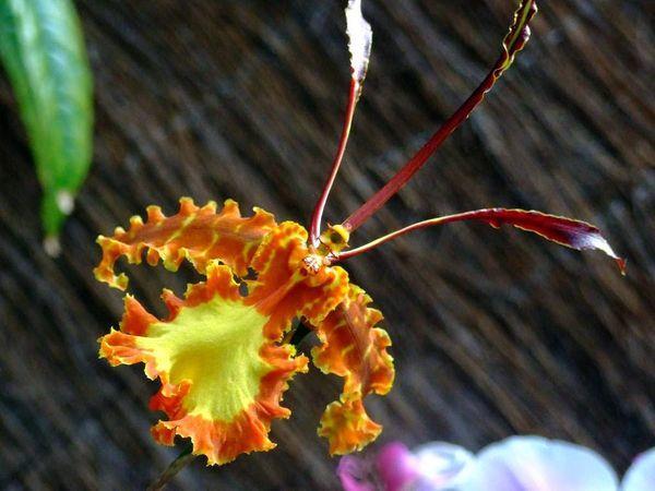 Хоксеттерская орхидея-бабочка