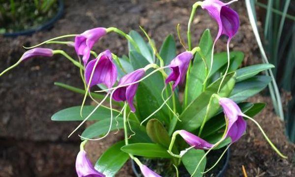 Гавайская болотная орхидея