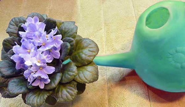 Поливают растение только чистой теплой водой обильно