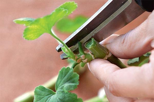 Обрезка листов фиалки для посадки