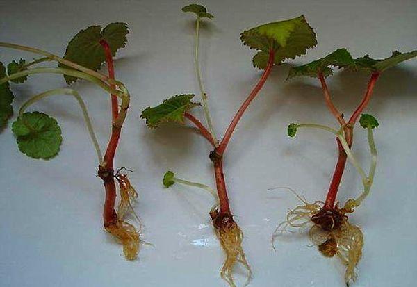 Стеблевой черенок используется для размножения бегонии