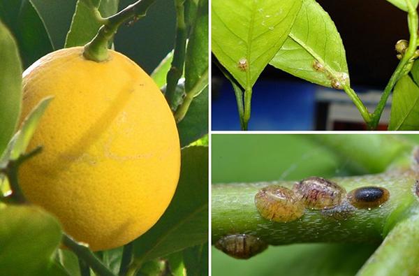 Щитовка на листьях и стеблях лимона