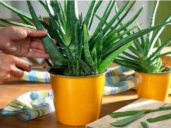 У растения нужно регулярно срезать засохшие, поломанные или старые листья