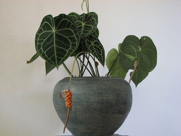 Хрустальный сорт имеет листовые пластины в виде крупного сердца