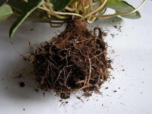 Клубень цикламена погружают в почву на 2/3