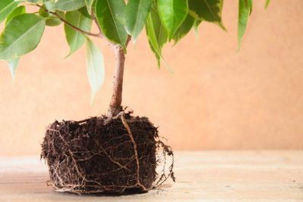 Молодые растения лучше растут в рыхлом грунте