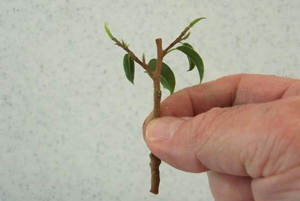 Фикус Бенджамина часто размножают черенкованием
