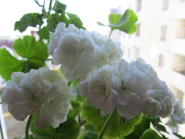 Герань Vit rosen