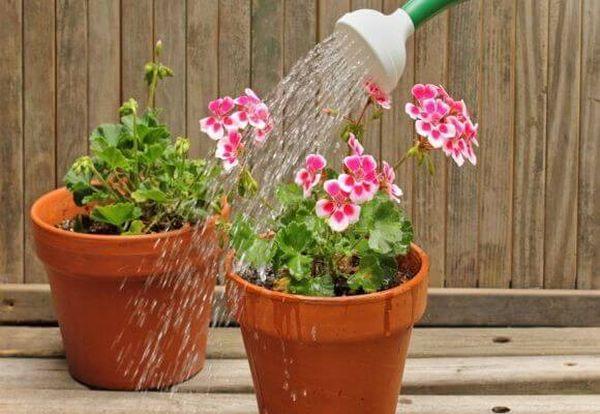 Весной герань поливают раз в 2–3 дня