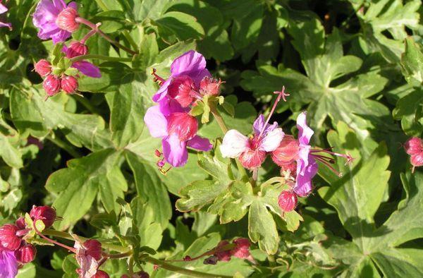 Герань – это травянистое многолетнее садовое растение
