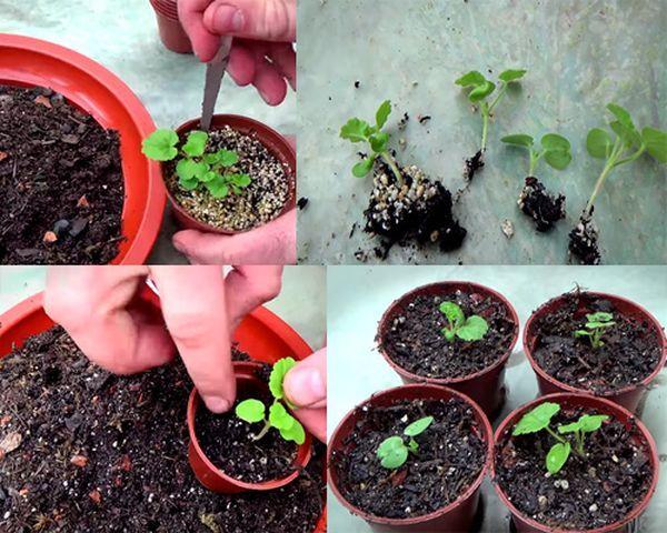 Выращивание герани из семян