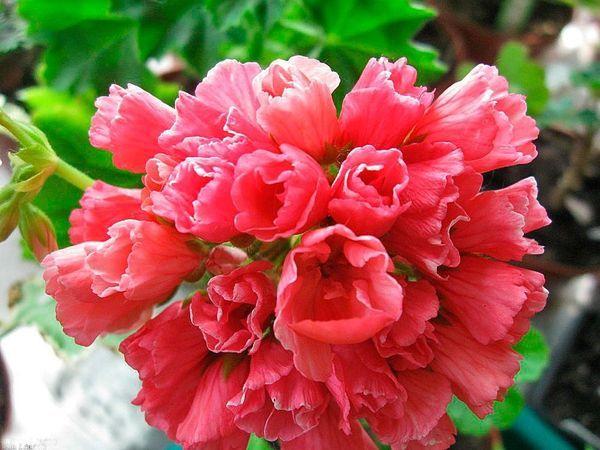 Герань – популярное комнатное растение
