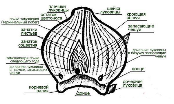 Структура луковицы гиацинта для посадки