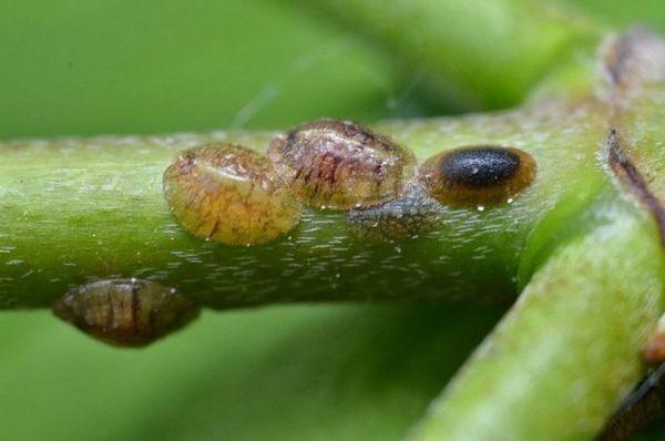 Щитовка – это мелкое насекомое размером 0,5–5 мм