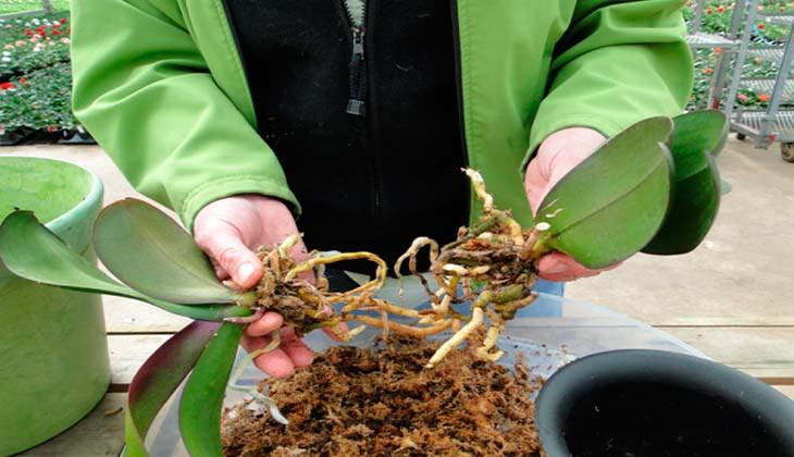 Размножение орхидей методом деления куста