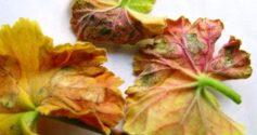Что делать, если у герани сохнут листья?