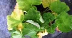 Как бороться с пожелтением листьев у герани?
