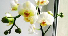 Такая редкая белая орхидея Фаленопсис