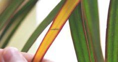 Причины пожелтения листьев драцены и методы их устранения