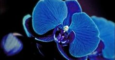 Синяя орхидея: в чем секрет?