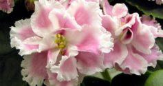 Розовые сорта комнатных фиалок