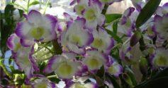 Благородная орхидея Дендробиум нобиле