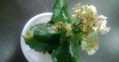 Каланхоэ вянет: что делать и как «оживить» растение