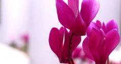 Простое руководство, как ухаживать за цикламеном после цветения