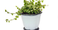Что нужно знать о том, как посадить фикус отростком в грунт