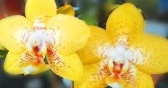 Как отсадить отросток орхидеи от стебля: инструкция