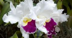 Самые популярные виды и сорта орхидеи фаленопсис