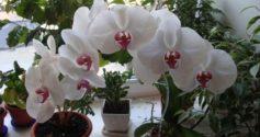 Что делать, если засыхает орхидея: причины и реанимация
