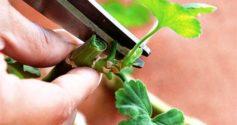 Правила размножения герани черенками