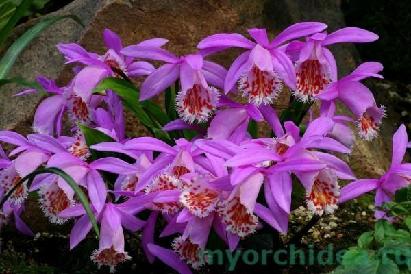 Орхидея Плейоне фото