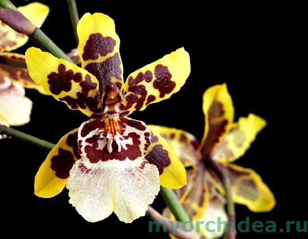 Орхидея Колманара фото