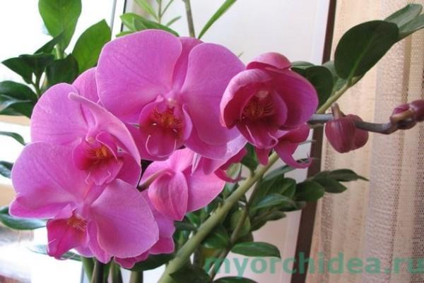 Цветок Фаленопсис фото