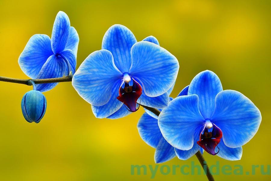 голубой фаленопсис фото