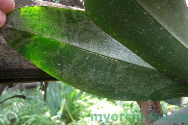 Паутинный клещ у орхидеи фото