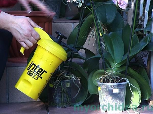 Полив орхидеи методом опрыскивания фото